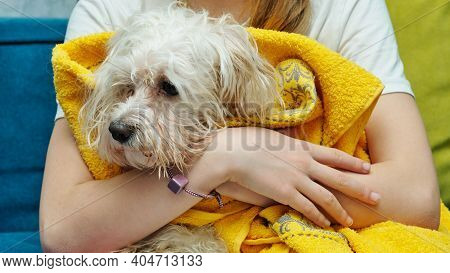 Maltese Lapdog In A Yellow Towel After Bathing In The Hands Of A Girl Close-up.