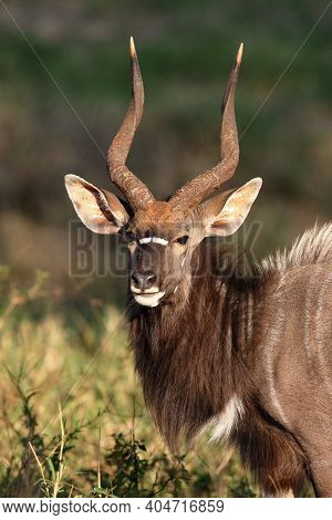 Portrait Of A Nyala Antelope Grazing On Grass Residues, The Nyala (tragelaphus Angasii), Also Called