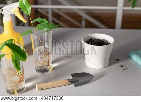 Set Of Tools For Planting Shoot Of Houseplant In White Pot With Soil On Gray Table. Ficus Benjamina.