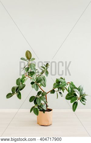 Ficus In Home In Flowerpot On White Background. Modern Minimalistic Interior With An Home Plant. Fla