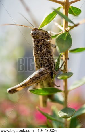 Giant Locusts Between Leaves Of Bush Waiting For The Food