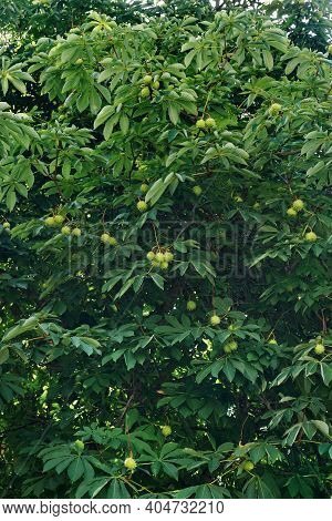 Chestnut Leaves And Chestnuts. Large Dark Leaves . Ornamental Motif Of The Beginning Of   Autumn. Fa