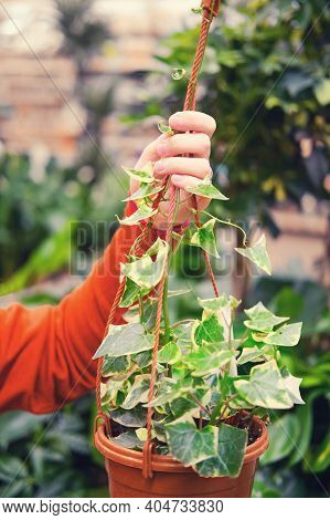 Woman Florist Hands With Senecio In Flower Pot In Greenhouse Shop