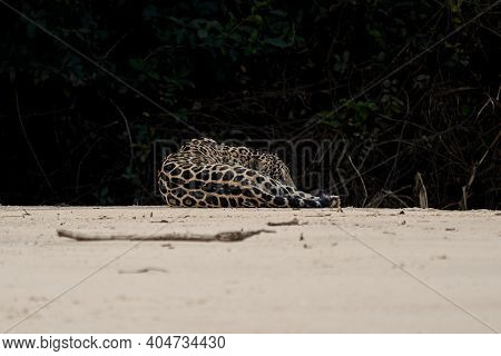 Jaguar, Panthera Onca, Is A Large Felid Species And The Only Extant Member Of The Genus Panthera Nat