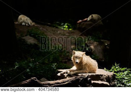 Wolf Pack Of Big And White Hudson Bay Wolf, Lives In The Artic And At The Northwestern Coast Of Huds