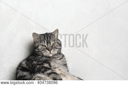 A Funny Whisker Cat Portrait Sitting Against The Wall. Background With Copy Space.