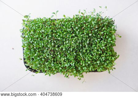 Microgreen Alfalfa Closeup In A Tray. Top View.