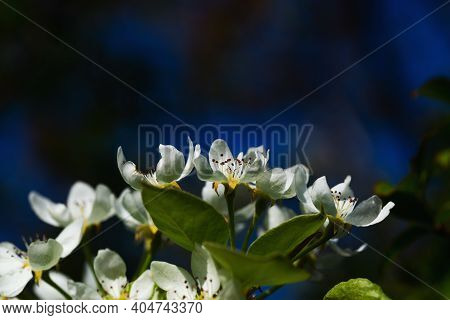 Flowering Pear. White Flowers Of Pear. Spring. Pear. White Pear Flowers In Bloom With Dark Blue Back