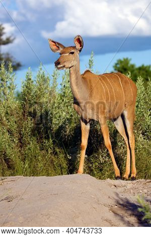 The Greater Kudu (tragelaphus Strepsiceros), An Adult Female Large African Antelope Standing On A St