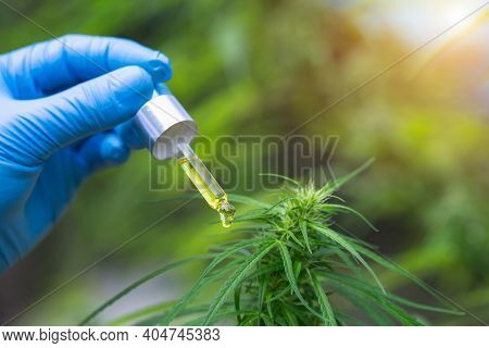 Cbd Hemp Oil, Hand Holding Bottle Of Cannabis Oil In Pipette.  Cbd Hemp Oil, Medical Marijuana Oil C