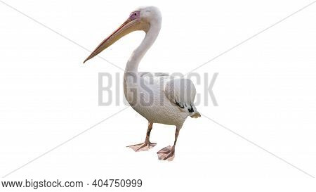 Pelican Isolated On White Background, Pelican Bird.