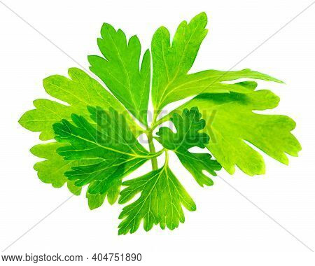 Parsley Leaf Isolated On White Background. Fresh Parsley Herb Top View. Flat Lay