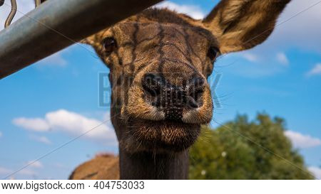 Deer Muzzle Close-up, Beautiful Young Deer. Portrait Of A Deer In Nature,