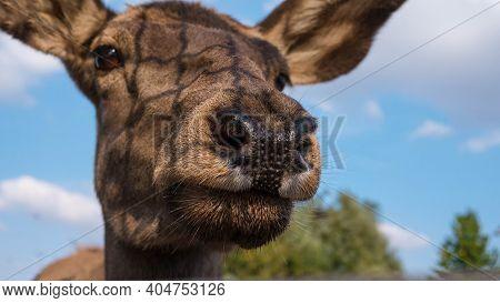 Deer Muzzle Close-up, Beautiful Young Deer. Beautiful Young Deer