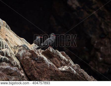 Two Black Larosterna Inca Tern Seabird Wildlife On Guano Rock Cliff Coast Of Islas Ballestas Paracas