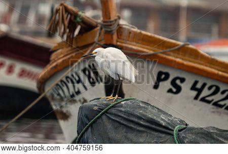 White Snowy Egret Egretta Thula Heron Bird Animal Sitting On A Boat Ship In Paracas Harbor Port Peru
