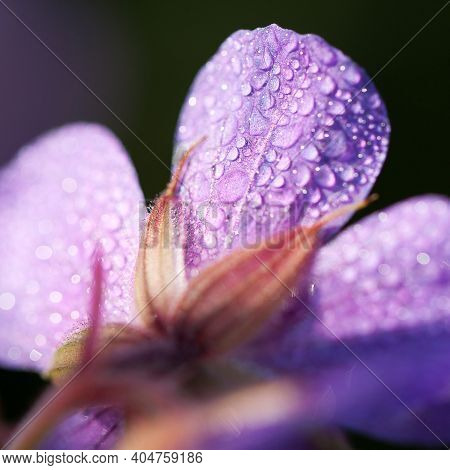 Beautiful Lilac Geranium Flower With Dew Drops On Delicate Stitches Glinting In The Sun