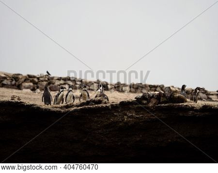 Panorama View Of Humboldt Penguin Spheniscus Humboldti Group On Islas Ballestas Island Paracas Peru