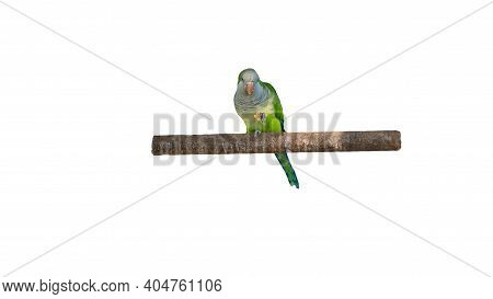 The Parrot Holds Food In Its Paw Is Isolated On A White Background, The Parrot Eats, The Bird Is Gre
