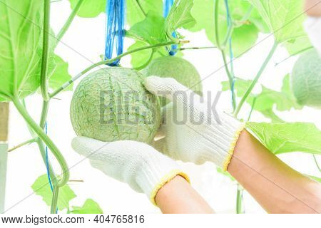 The Man Wear Gloves For Scratch And Cleaning The Melon Pattern On Peel