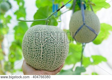 Hold The Fresh Green Melon In Greenhouse