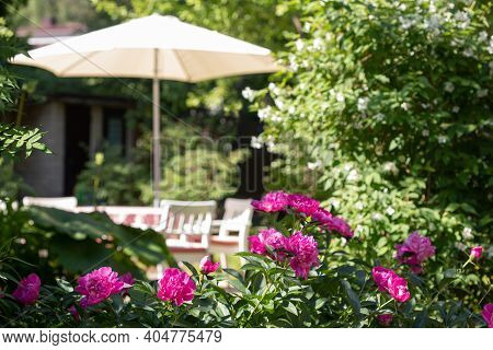 Pink Peonies In The Summer Garden With Blurred View Of Parasol And Outdoor Table