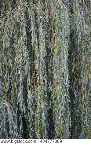 White Willow Tree (salix Alba) Branches, Large Detailed Vertical Textured Foliage Pattern Closeup, G