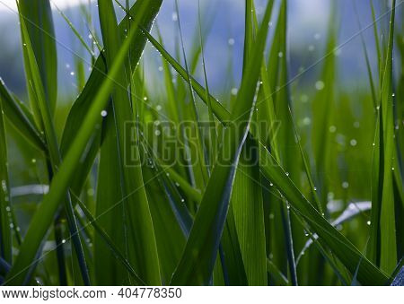 Drops Of Morning Dew On The Grass Close-up. Beautiful Green Nature Background. Spring Freshness Conc