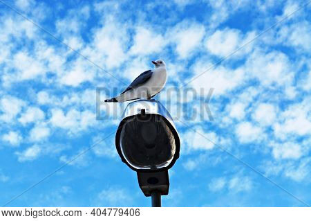 Bird Seagull Sitting On A Lamppost Against A Blue Cloudy Sky, Common Gull, Larus Canus, Mew Gull, Ba