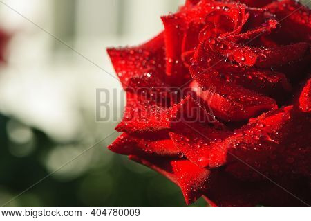 Red Rose With Water Drops. Drops Of Morning Dew On The Petals Of Flowers Of A Red Rose. Macro Photo.