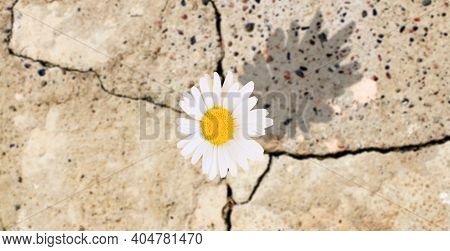 The Chamomile Flower Grew In The Crack Of Concrete, The Shadow Of The Flower On A Sunny Day Nature P