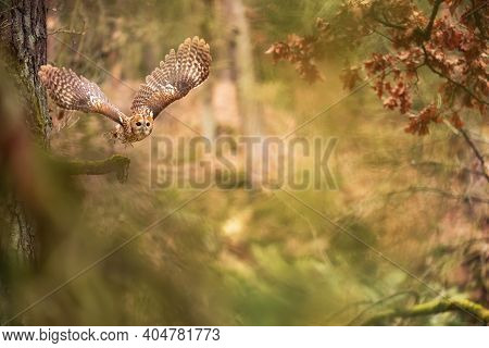 Flying Owl In A Fairy Forest. Tawny Owl In The Colorful Nature Bacground.