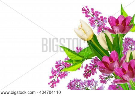 Tulip. Spring Flowers Lilac Isolated On White Background. Nature