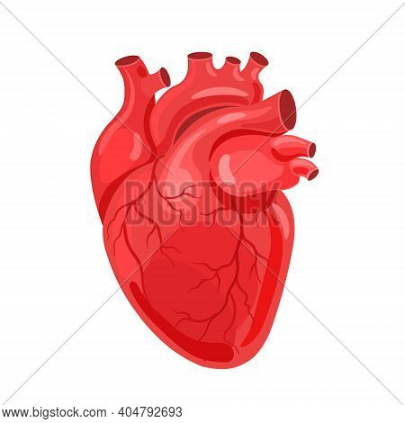 Human Heart. The Heart With The Venous System. Anatomy. Flat Vector Illustration.