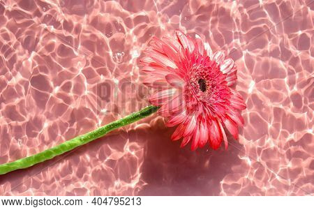 Pink Gerbera Or Barberton Daisy Flower On Water Surface With Ripples And Sunlight Reflections. Beaut