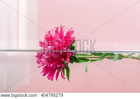Pink Chrysanthemum Flower Floating Half Under Water On Pastel Pink Background. Milk Bath, Beauty Spa
