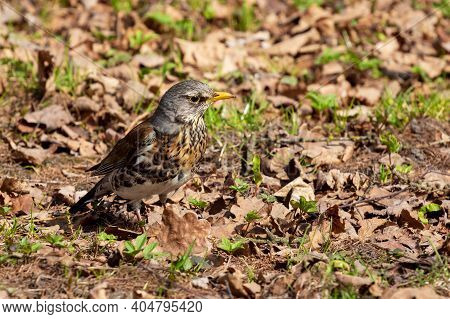Fieldfare Is Looking For Food On The Ground. Blackbird In The Park. Bird Watching In Spring