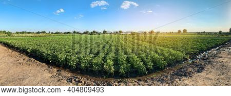Panoramic Photo Of A Beautiful Agricultural View With Potato Plantations On The Farm On A Sunny Day.