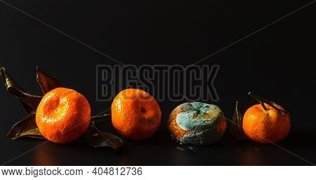 Four Spoiled Tangerines, With Varying Degrees Of Rot And Mold On A Black Background, Close-up, Selec