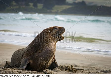 Nz Fur Seals Sunning Themselves On Catlins Beach. South Island, New Zealand.
