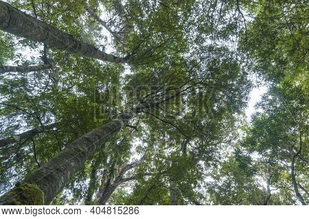 Tall Rimu And Beech Trees Tower From Below Overhead Converging Into Forest Canopy.in South Island Ra