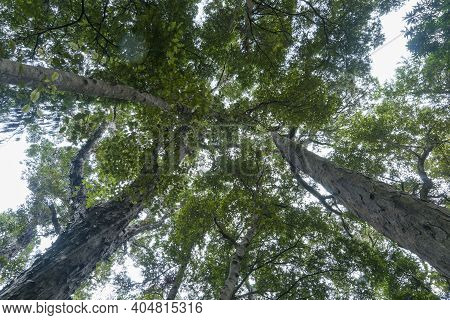Tall Rimu And Beech Trees Tower From Below Overhead Converging Into Forest Canopy In South Island Ra