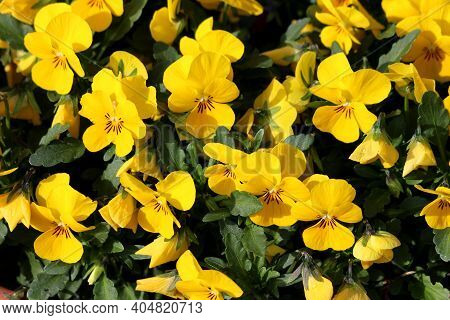 Densely Planted Bunch Of Yellow Wild Pansy Or Viola Tricolor Or Johnny Jump Up Or Heartsease Or Hear