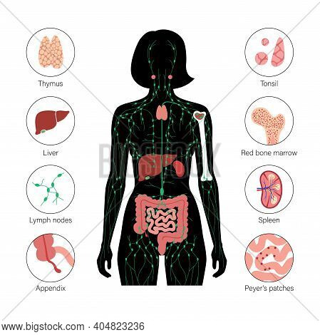 Lymphatic And Immune System Concept. Thymus, Liver, Appendix And Tonsil In Female Silhouette. Red Bo