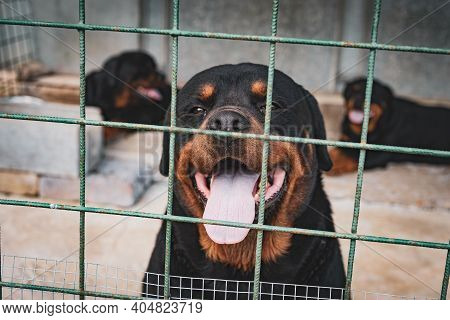 Portrait Of Amazing Dog Sticking Out His Tongue And Looking On Camera, Homeless Puppy Closed In Iron