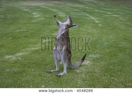Kangaroo Stretch