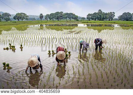 Unidentifiable Farmers Plant Rice In The Field. Farmers Are Planting Rice In The Farm. Thai Women Fa