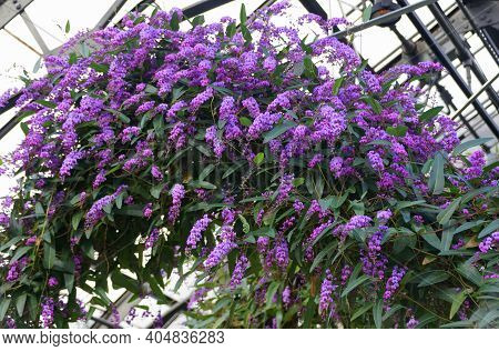 Purple Coral-pea Flowers, A Climbing Plant That Is Also Known As 'happy Wanderer'