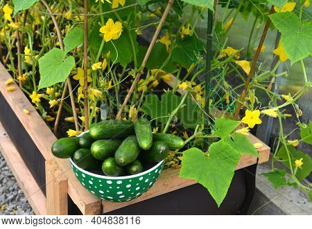 Cucumber Plants And Harvest In Greenhouse.  Vintage Botanical Background With Plants, Home Hobby Sti