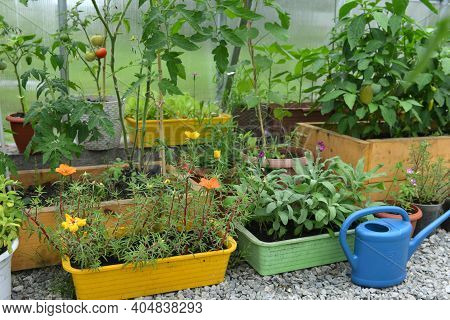 Young Seedlings Of Flowers And Vegetables In Pots With Watering Can In Greenhouse. Vintage Botanical